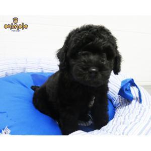Poodle Médio Macho - Preto   Animais e Acessórios - Cachorros